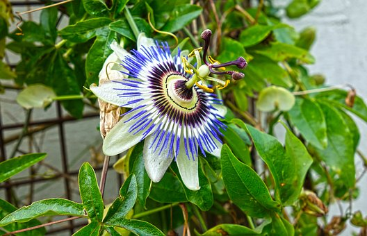 Passion Flower Side Effects