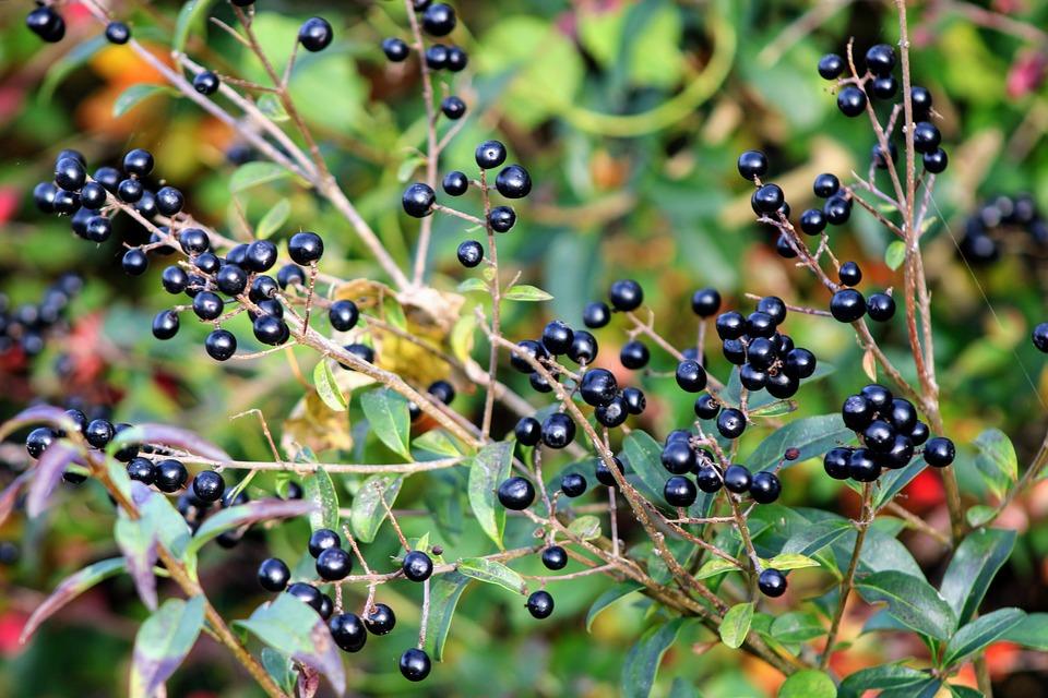 privet fruit