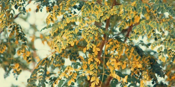 9 Benefits of Moringa