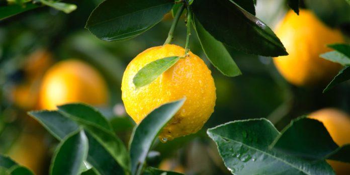 Tree of lemon